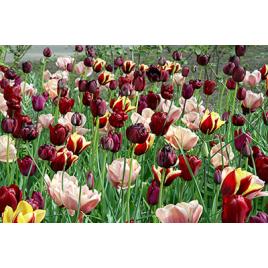 Rejtély - Virághagyma Kombináció