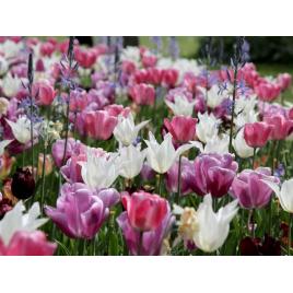 Pasztell Virághagyma Kombináció