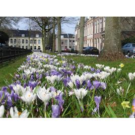 Holland - Folyton nyíló Virághagyma Kombináció (300db/m2)
