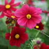Pillangóvirág - Rubin