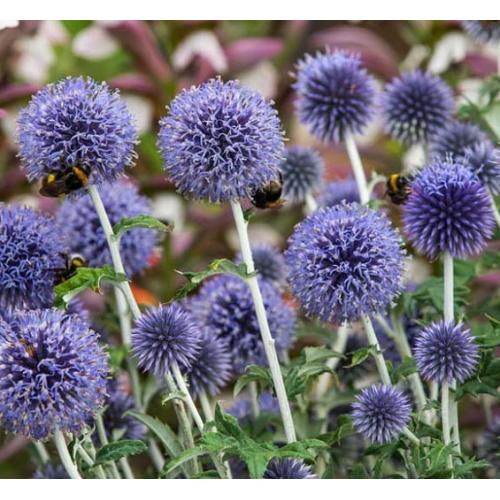 Kék Szamárkenyér