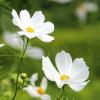 Pillangóvirág - Fehér