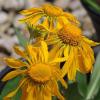 Kopasz Napfényvirág