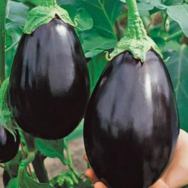 Fekete Szépség Padlizsán