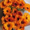 Körömvirág - Ragyogó Narancssárga