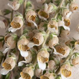 Gyűszűvirág - Kávé Krém