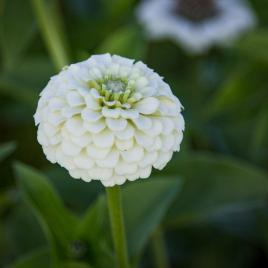 Rézvirág - Fehér Zinderella