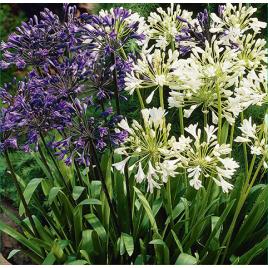 Agapanthus - Szerelemvirág MIX