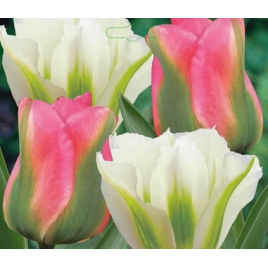 Rózsaszín - Fehér Tulipán Mix