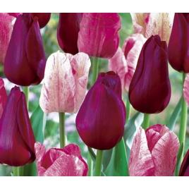 Bordó - Rózsaszín Tulipán Mix