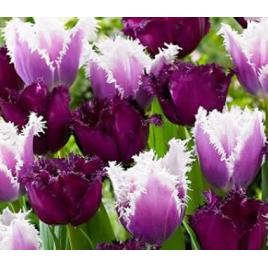 Lila Rojtos Tulipán Mix