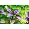 Lilás-zöld Iráni Bazsalikom