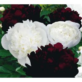 Fekete - Fehér Pünkösdi rózsa
