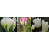 Fehér Szirmok - Tulipán Kollekció