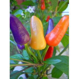 Aurora Chili Paprika
