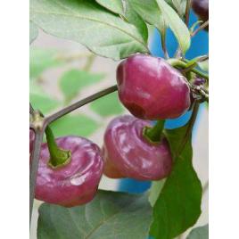 Roxa Chili Paprika
