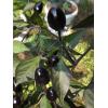 Royal Black Chili Paprika