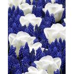 Hófehér Tulipán / Kék Gyöngyike Mix