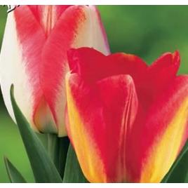 Amerikai Álom - Színváltó Tulipán