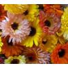 Körömvirág - Naplemente MIX