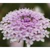 Didiscus - Rózsaszín