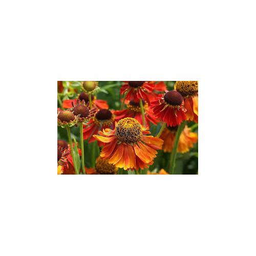 Napfényvirág - Helenium MIX
