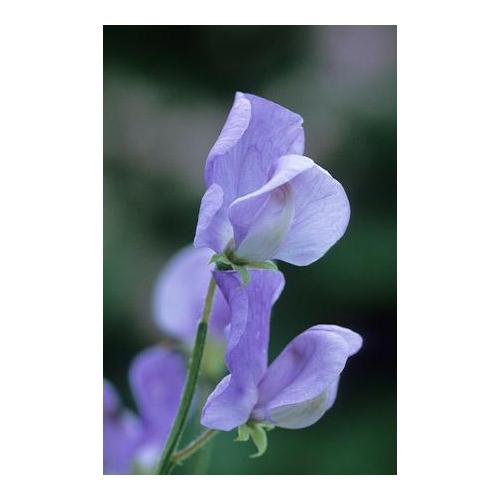 Szagos Díszbükköny - Flora Norton