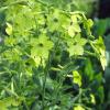 Nicotiana - Zöldcitrom